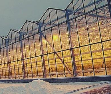 На Ставрополье увеличилось производство огурцов в защищенном грунте