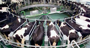 В России продолжается падение цен на сырое молоко
