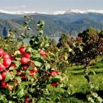 Урожайность яблок на Ставрополье в сравнении с прошлым годом выросла на 20%