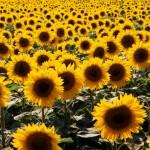 Белгородская ГК «Эфко» хочет втиснуться в банкротство «Солнечных продуктов» из-за неоплаченной «пальмы»