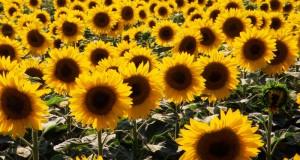 Максимальная продуктивность растений  с удобрениями ФУЛХУМ и КЛЕАНСТОРМ