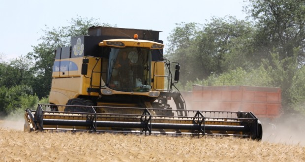Найдены гены пшеницы, которые определяют качество зерна