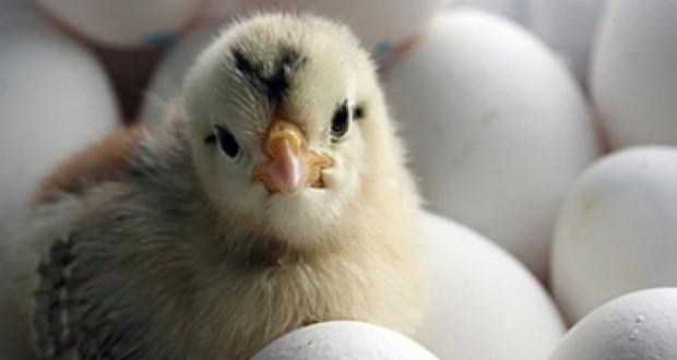 Дело против птицефабрик