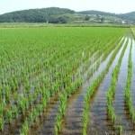 Кубанские аграрии планируют собрать в 2019 году до 1 млн тонн риса