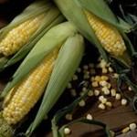В Пензенской области будет увеличено производство кукурузы на зерно
