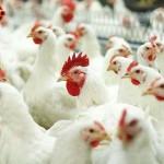Торговый дом белгородской «Белой птицы» признан банкротом вслед за другими структурами агрохолдинга