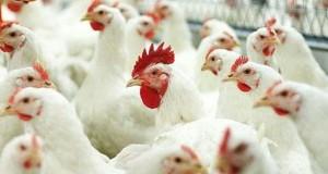 Птицеводы увеличивают спрос на кормовые ферменты