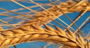 Египет будет получать два урожая пшеницы в год