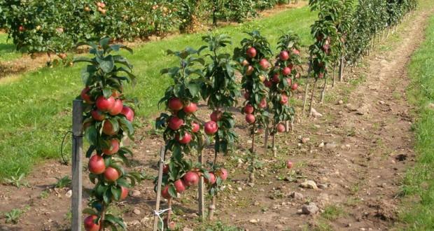 Власти Крыма ожидают большой урожай яблок в этом сезоне