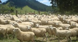 Ставропольским животноводам вернут часть оплаченных налогов