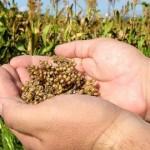 Сорго: успешная уборка урожая