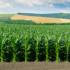 Какие патогены активизировались на высокоурожайных гибридах кукурузы?